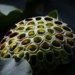 Lotus meyvesinin faydaları nelerdir?
