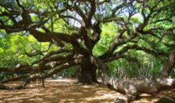 Meşe Ağaçları Nasıl Yetiştirilir?