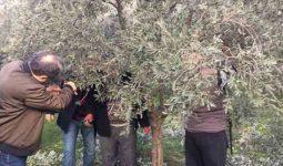 Zeytin Ağacı Nasıl Yetiştirilir? Bakımı Nasıldır?