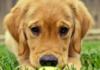 Köpeklerin Üzüldüğünü Nasıl Anlarız?